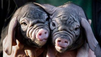 Animals: Meishan piglets.