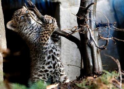 Animal: leopard.