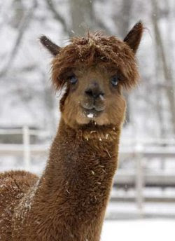 Animal: an alpaca.
