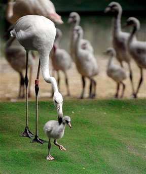 Animals: greater flamingo chick, Phoenicopterus roseus.