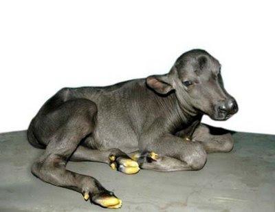 Animal: cloned buffalo calf.