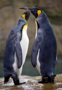 Animal: king penguins.