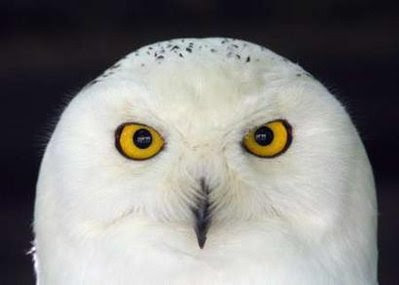 Animal: snowy owl.