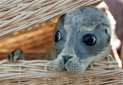 Animal: Seal pup.