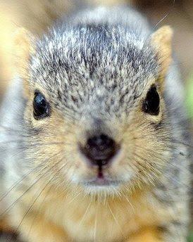 A baby squirrel.