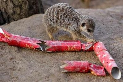 Animal: meerkat.