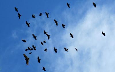 Nebelkrähen hassen auf einen Uhu (Ausschnitt)