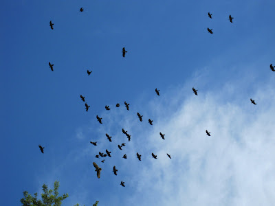 Nebelkrähen hassen auf einen Uhu