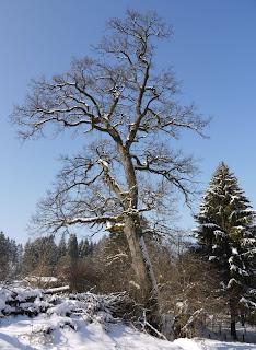 Eiche im Forstenrieder Park