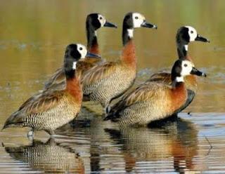 الطيور المائية تزيد من تواجدها بالجزائر 0+%282%29