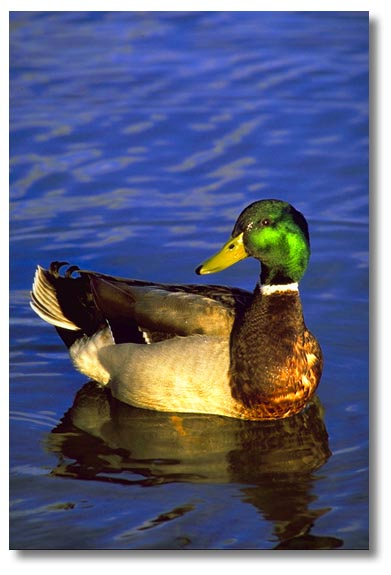 الطيور المائية تزيد من تواجدها بالجزائر 0