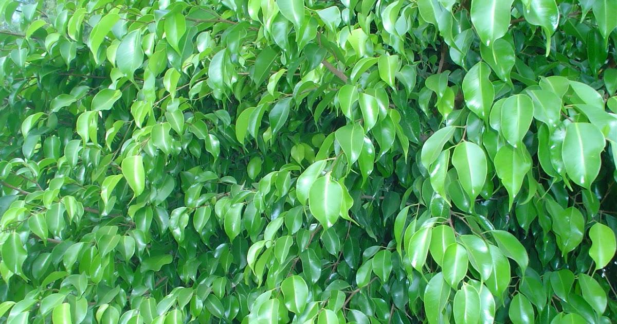 Arboles Ornamentales Ficus