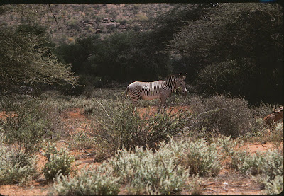 Thin-striped zebra at Treetops, Kenya