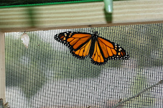 male monarch waiting to be released