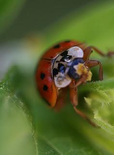 ladybug eating aphids on milkweed
