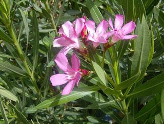 fleurs d'Azrou