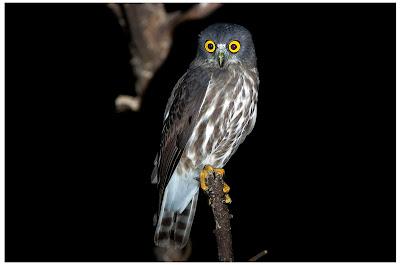 pictures of baby brown hawk owl habitat