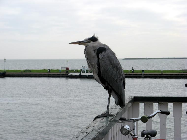 Gran pájaro en Volendam