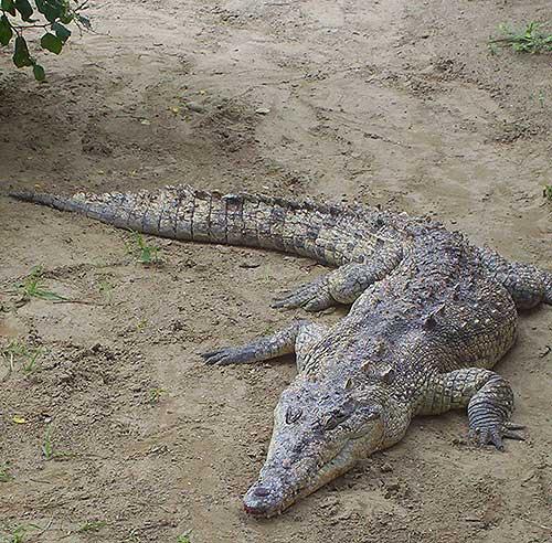 Fue atrapado uno de los cocodrilos que causaban intranquilidad en Capital