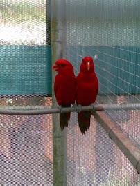 sepasang burung kakak tua..