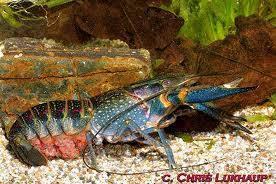 budidaya_lobster