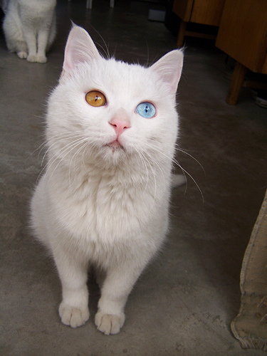 pictures of Odd-eyed cat