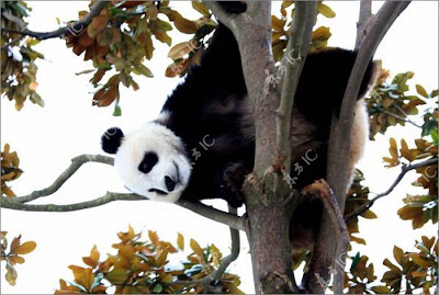 Pandas Enjoy Winter in China Seen On www.coolpicturegallery.us