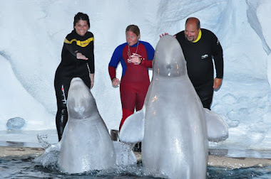 Playing with Belugas