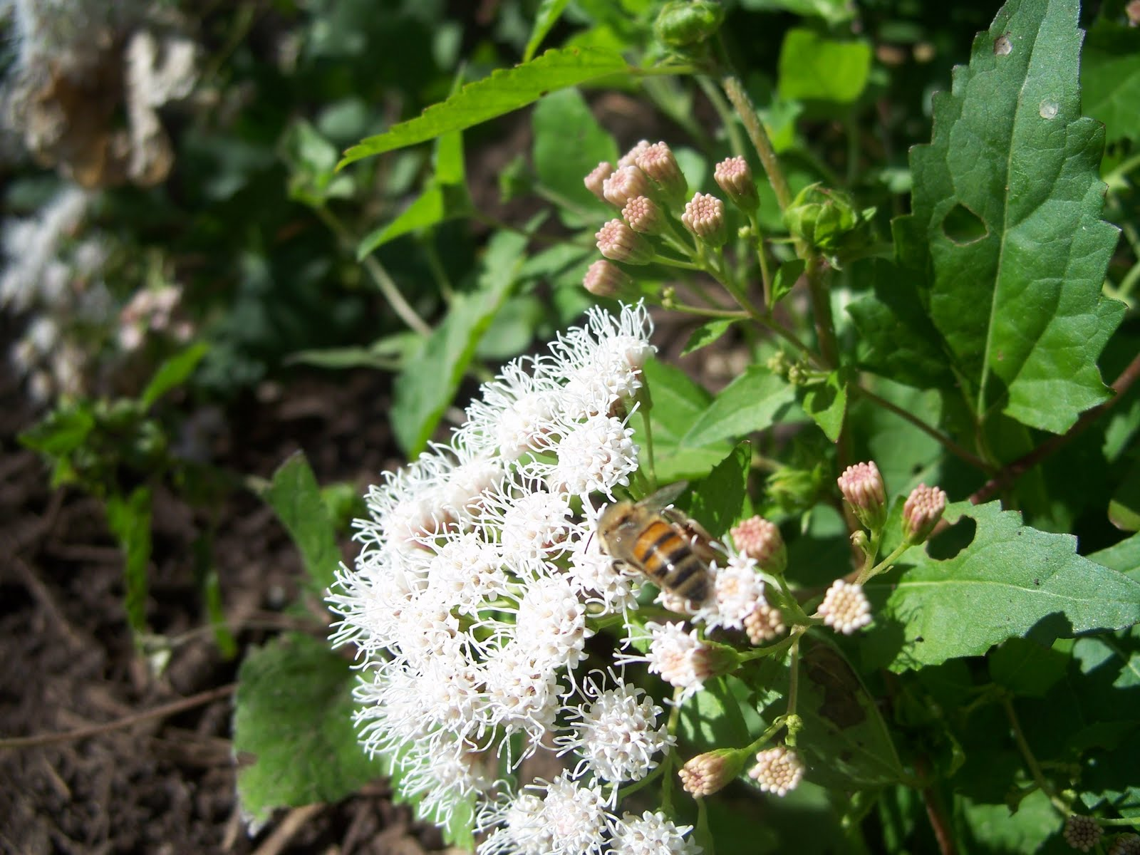 Garden gnomes texas gardening blog plants that rule white mistflower they just waited until it finally rained and then exploded into bloom oh and as you might expect it smells great rich perfumey and sweet mightylinksfo