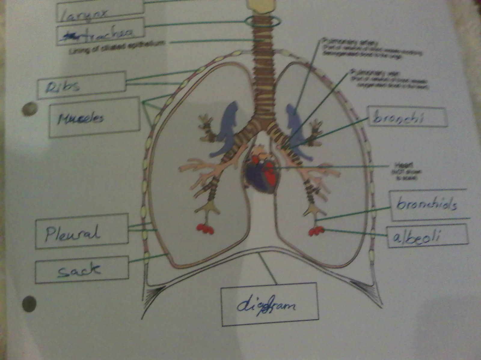 Khalid-Science: Respiratory system worksheet