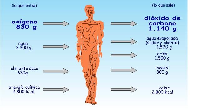 Anatomía y fisiología humana I: 1.3. Procesos vitales