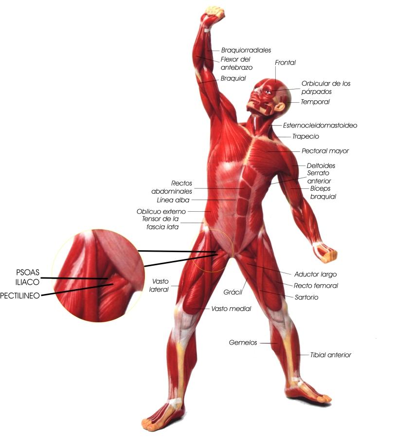 Anatomía del cuerpo: Músculo