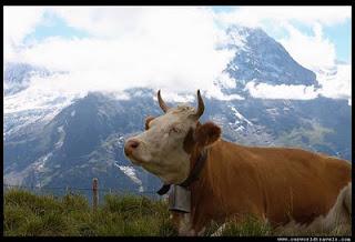 vaca sinucigasa