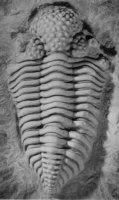 Trilobiet