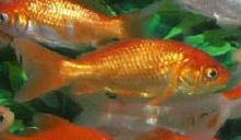 Tancho Single Tail Goldfish