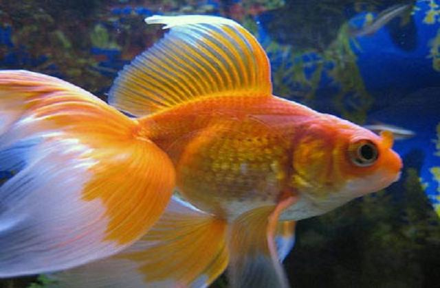 Goldfish care types pictures diseases and treatment for What fish can live with goldfish