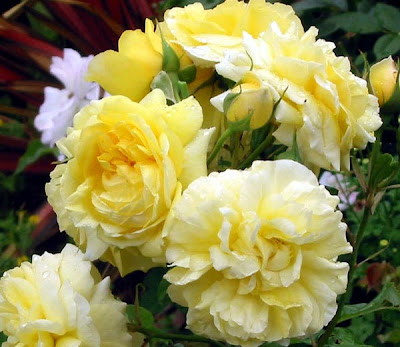 Amazing different yellow with White Rose wallpaper