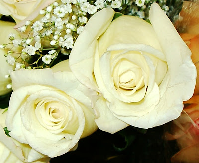 Romantic White roses photo