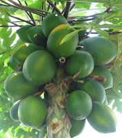 Carica Papaya Fruit