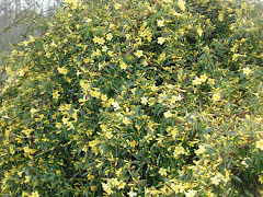 The Yellow Jasmine has decided to 'bust a move'
