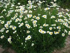 The Amazing Ox-Eyed Daisies