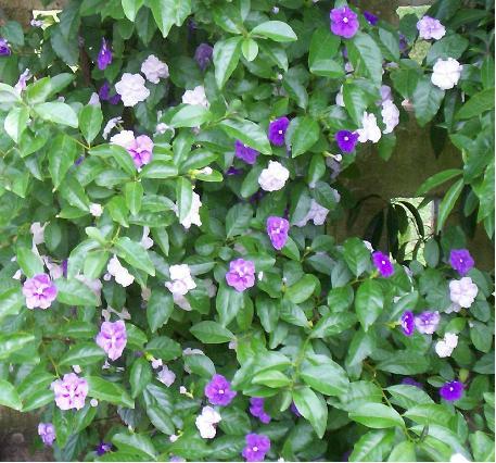 Floripondio
