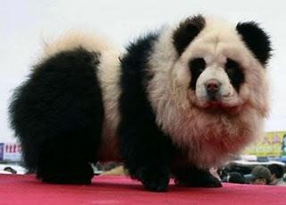 Estos perros Chow Chow, fueron teñidos como osos panda, se conservan