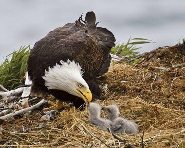 Amor de madre Aguila-calva-y-sus-bebes