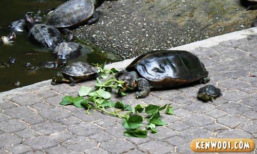 sam poh tong tortoise pond