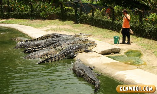 langkawi crocodile feeding session