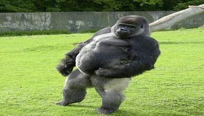Gorila que camina como humano