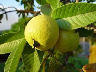 Future light agro how to grow guavas the sweet fruit with health tips below - Spring trimming orchard trees healthy ...