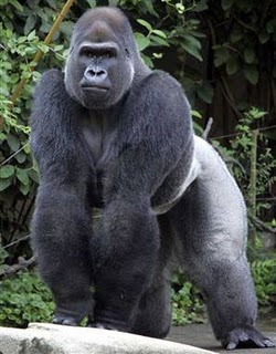 Mating with woman Gorilla