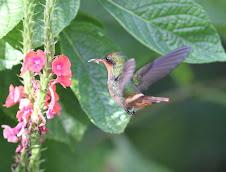 Tufted Coquette Hummingbird, Trinidad
